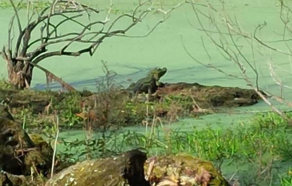 Gator that lives at Rock Springs